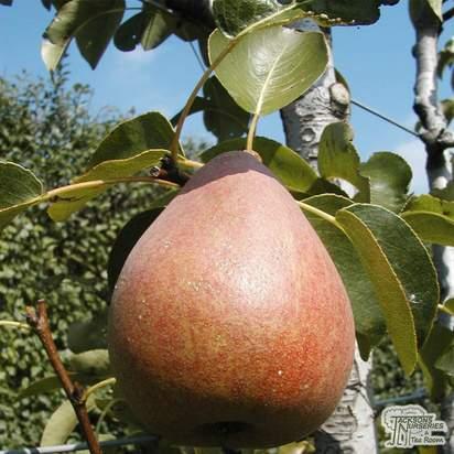 Buy Pear - Pyrus communis 'Doyenne du Comice' online from Jacksons Nurseries