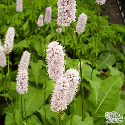 Buy Persicaria bistorta Superba online from Jacksons Nurseries
