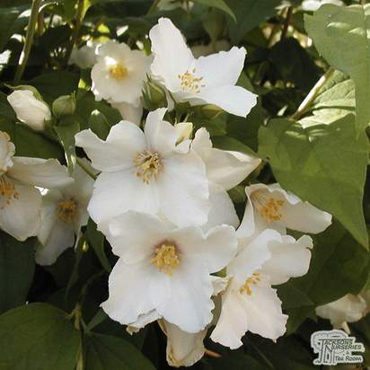 Buy Philadelphus Belle Etoile online from Jacksons Nurseries