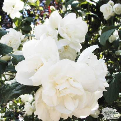 Buy Philadelphus Virginal (Mock Orange) online from Jacksons Nurseries
