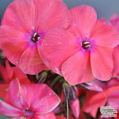 Buy Phlox paniculata Tenor (Garden Phlox) online from Jacksons Nurseries.