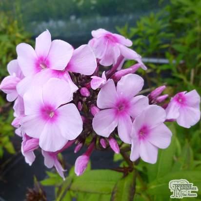 Buy Phlox paniculata Bright Eyes (Garden Phlox) online from Jacksons Nurseries.