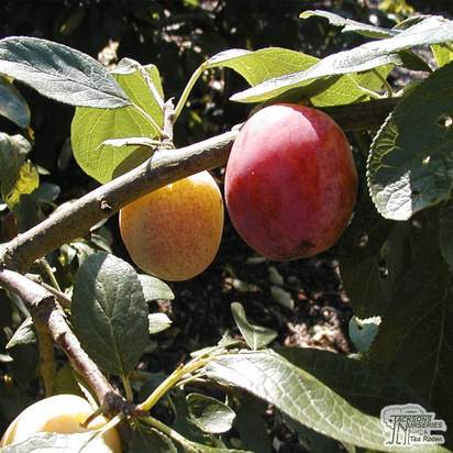 Buy Plum - Prunus domestica 'Victoria' online from Jacksons Nurseries