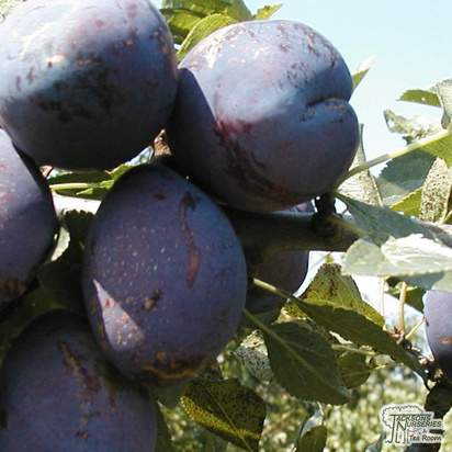 Buy Plum - Prunus domestica 'Czar' online from Jacksons Nurseries