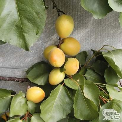 Buy Plum Oullins Gage online from Jacksons Nurseries
