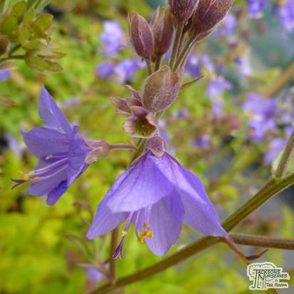 Buy Polemonium caeruleum (Jacobs Ladder) online from Jacksons Nurseries.