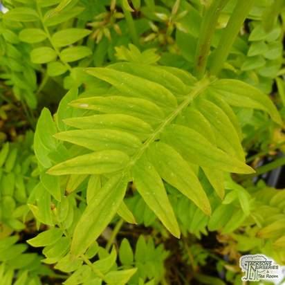 Buy Polemonium caeruleum (Jacobs Ladder) online from Jacksons Nurseries.