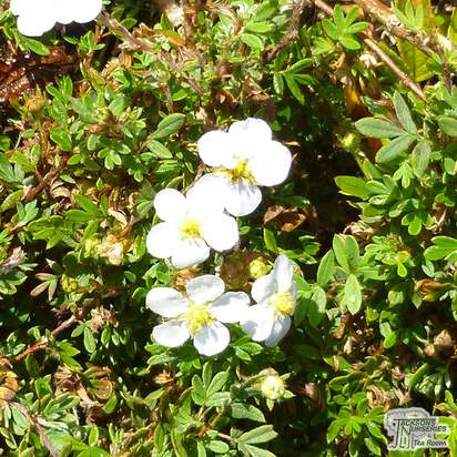 Buy Potentilla fruticosa Abbotswood (Shrubby Cinquefoil) online from Jacksons Nurseries.