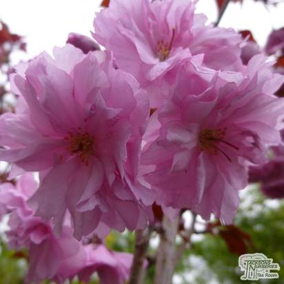 Buy Prunus Royal Burgundy (Japanese Flowering Cherry) online from Jacksons Nurseries