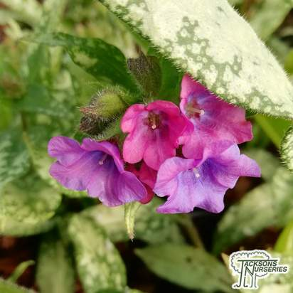 Buy Pulmonaria 'Diana Clare' (Lungwort) online from Jacksons Nurseries