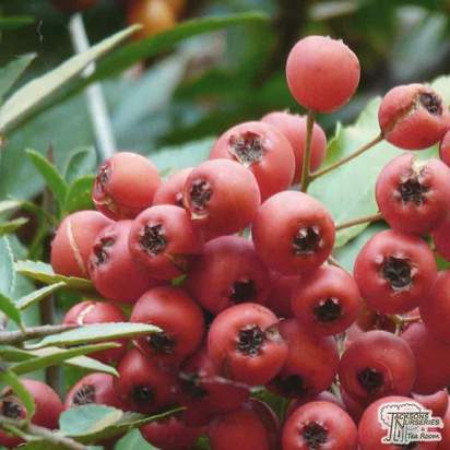 Buy Pyracantha coccinea 'Red Column' online from Jacksons Nurseries