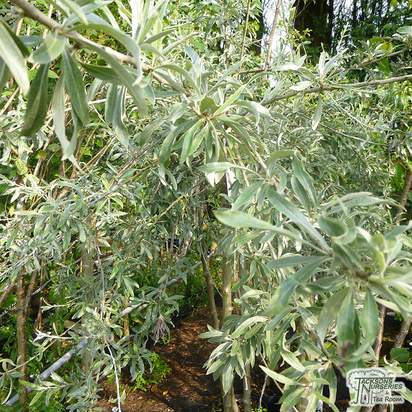 Buy Pyrus salicifolia Pendula online from Jacksons Nurseries.