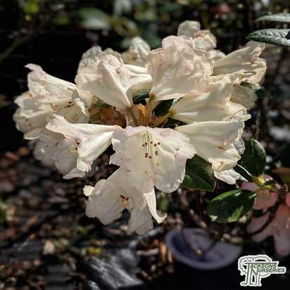 Buy Rhododendron Dusty Miller (Yakushimanum Rhododendron) online from Jacksons Nurseries