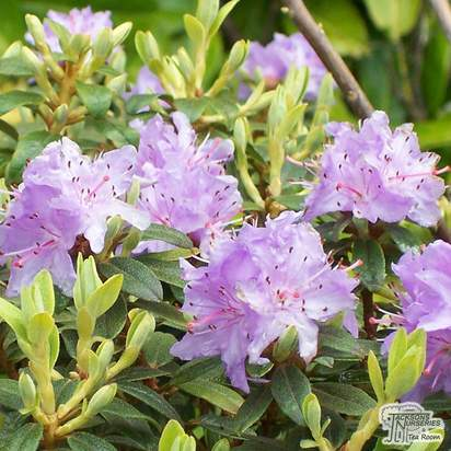 Buy Rhododendron Praecox at Jacksons Nurseries