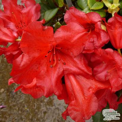 Buy Rhododendron Scarlet Wonder (Dwarf Rhododendron) online from Jacksons Nurseries