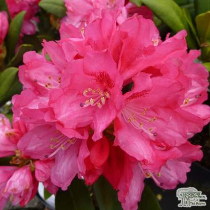 Buy Rhododendron Sneezy (Yakushimanum Rhododendron) online from Jacksons Nurseries