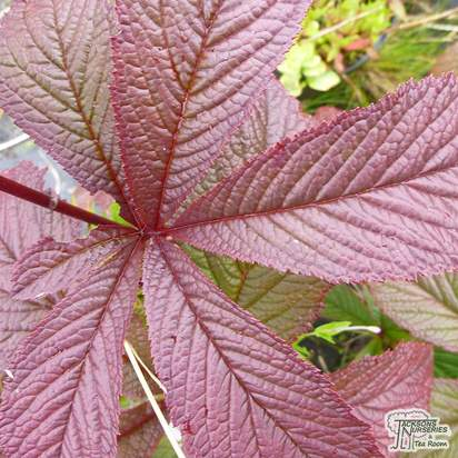 Buy Rodgersia Bronze Peacock online from Jacksons Nurseries
