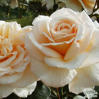 Buy rosa champagne moment from Jacksons Nurseries