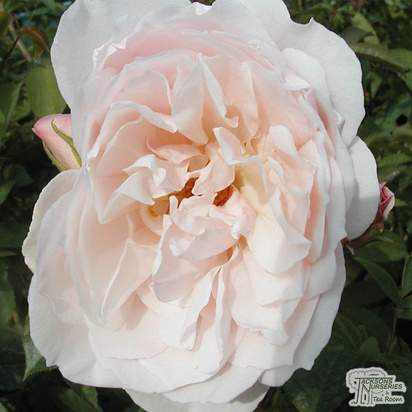Buy Rosa The Generous Gardener from Jacksons Nurseries