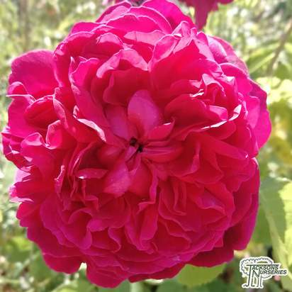 Buy rosa william shakespeare moment from Jacksons Nurseries