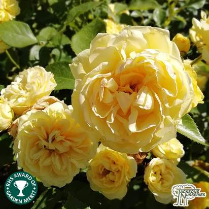Buy Rosa Charlotte from Jacksons Nurseries