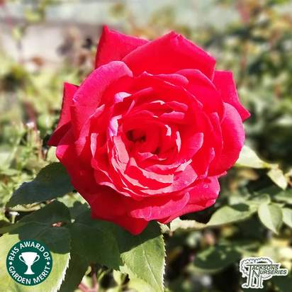 Buy Rosa Royal William online from Jacksons Nurseries