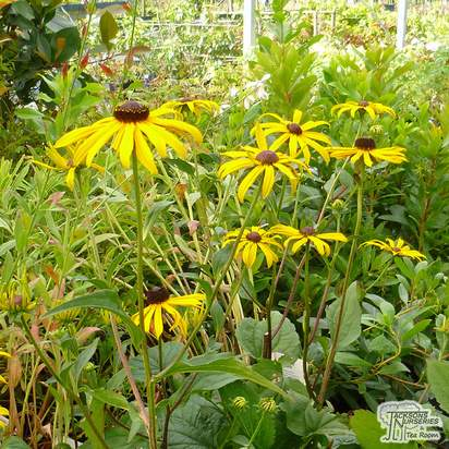 Buy Rudbeckia fulgida var. deamii (Black Eyed Susan) online from Jacksons Nurseries