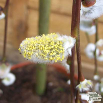 Buy Salix caprea Kilmarnock (Kilmarnock Willow) online from Jacksons Nurseries