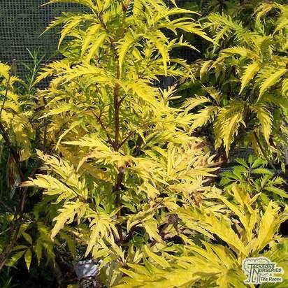 Buy Sambucus racemosa Plumosa Aurea