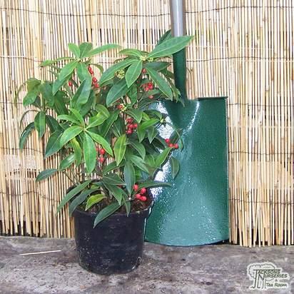 Buy Skimmia japonica subsp reevesiana (Japanese Skimmia (Self fertile)) online from Jacksons Nurseries