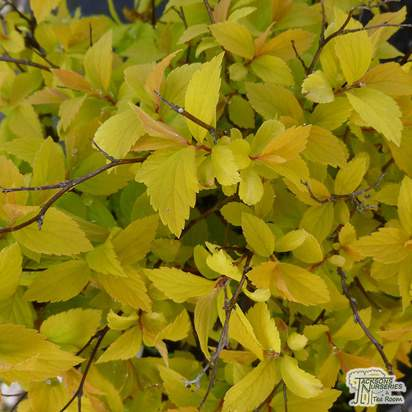 Buy Spiraea japonica Gold mound (Spiraea) online from Jacksons Nurseries.