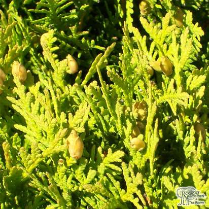 Buy thuja occidentalis Danica online from Jacksons Nurseries