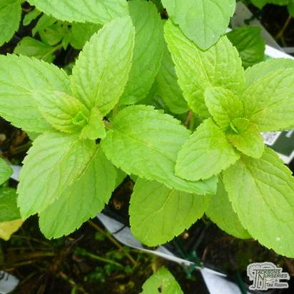 Buy Mentha aquatica at Jacksons Nurseries