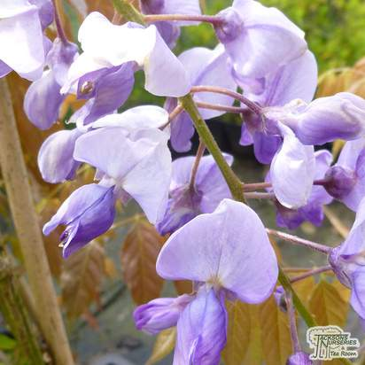 Buy wisteria sinensis amethyst at Jacksons Nurseries