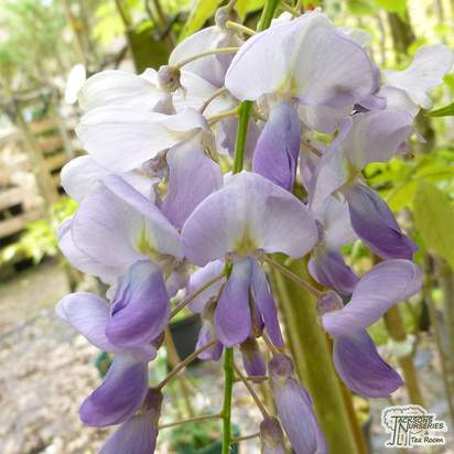 Buy Wisteria sinensis Blue Sapphire at Jacksons Nurseries