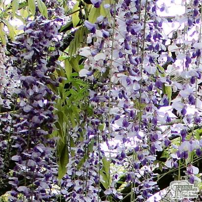Buy Wisteria floribunda Tiverton at Jacksons Nurseries