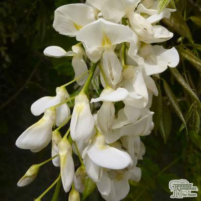 Buy Wisteria floribunda Alba (Snow Showers) online from Jacksons Nurseries