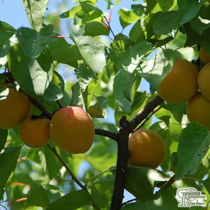 Buy Apricot - Prunus armeniaca Moorpark online from Jacksons Nurseries