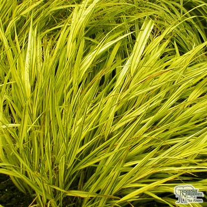 Buy Hakonechloa macra All gold at Jacksons Nurseries