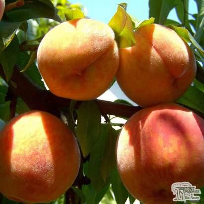 Buy Peach - Prunus persica 'Peregrine' online from Jacksons Nurseries