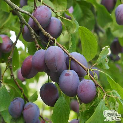Buy Plum - Prunus domestica 'Marjorie's Seedling' online from Jacksons Nurseries