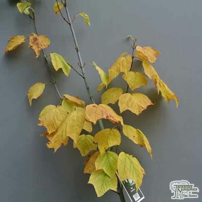 Buy Acer pensylvanicum online from Jacksons Nurseries.