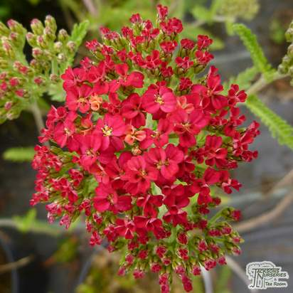 Buy Achillea millefolium Paprika (Yarrow) online from Jacksons Nurseries.