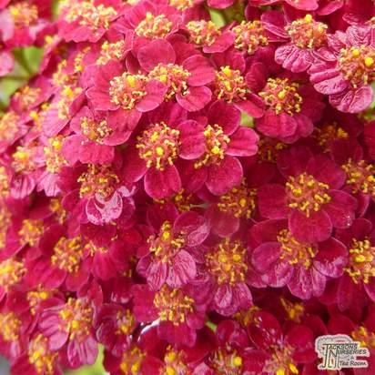 Buy Achillea millefolium 'Red Velvet' (Yarrow) online from Jacksons Nurseries