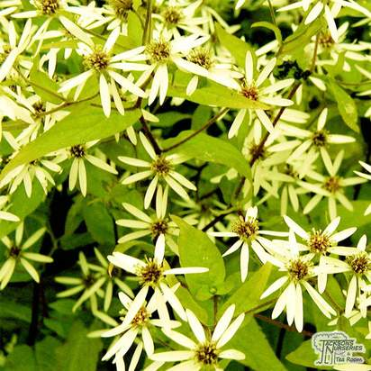 Buy Aster divaricatus (White Wood Aster) online from Jacksons Nurseries.