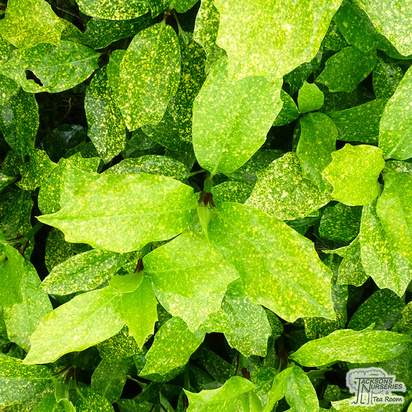 Buy Aucuba japonica Pepperpot (Spotted Laurel) online from Jacksons Nurseries