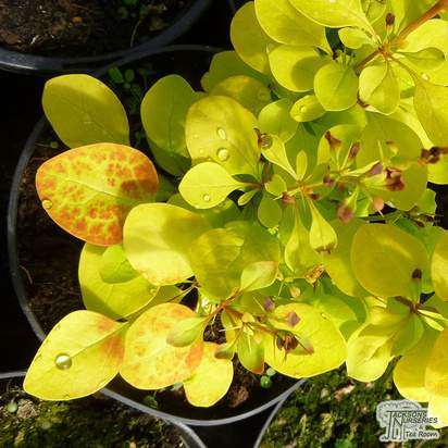 Buy Berberis thunbergii Maria (Barberry) online from Jacksons Nurseries