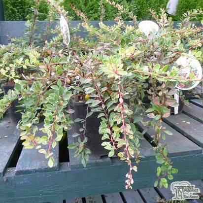 Buy Berberis thunbergii Starburst online from Jacksons Nurseries