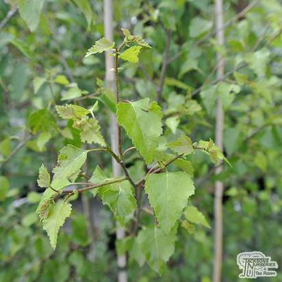 Buy Betula pendula Golden Beauty (Silver Birch Golden) online from Jacksons Nurseries