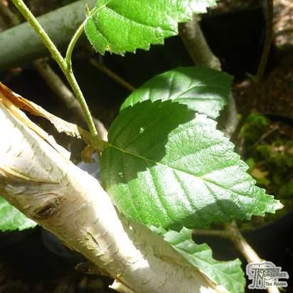 Buy Betula utilis var. Jacquemontii (White Barked Himalayan Birch) online from Jacksons Nurseries